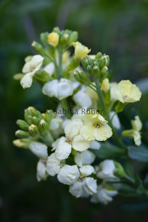 Erysimum cheiri 'Primrose Bedder' - English wallflower
