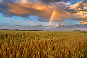 WHeat field and rainbow after storm<br />Lorette<br />Manitoba<br />Canada