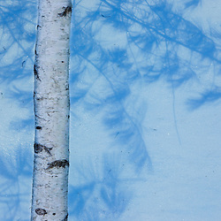 White pine shadows on snow behind the trunk of a paper birch tree in Gorham, New Hampshire.
