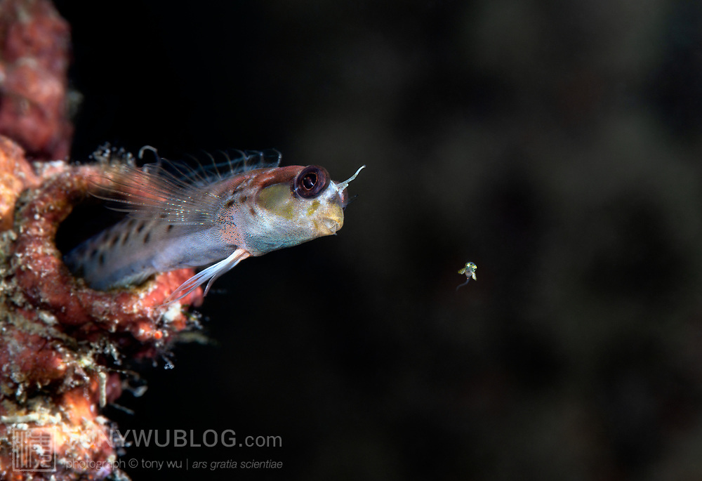 This is a male spotty goby (Laiphognathus multimaculatus) sending one of his babies into the world. Females of this species deposit eggs into the burrows of males, which fertilize and care for the developing young. When juveniles are mature, the males take the young fish into their mouths, dart out of their burrows and spit the babies into the water, sometimes one at a time, sometimes several at once. The action is rapid, the direction and timing of launching babies unpredictable. When the males send the babies out like this, their bodies usually lose the bright coloration of breeding season, becoming relatively drab, though not quite as dull as normal.