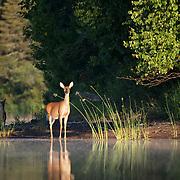 Whitetail deer (Odocoileus virginianus) standing along the shores of  Island Lake, Minnesota.