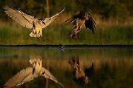 Black-capped Night heron, Nycticorax nycticorax, and Common crow, Corvus corone cornix, hunting at Pusztaszer protected landscape, Kiskunsagi, Hungary