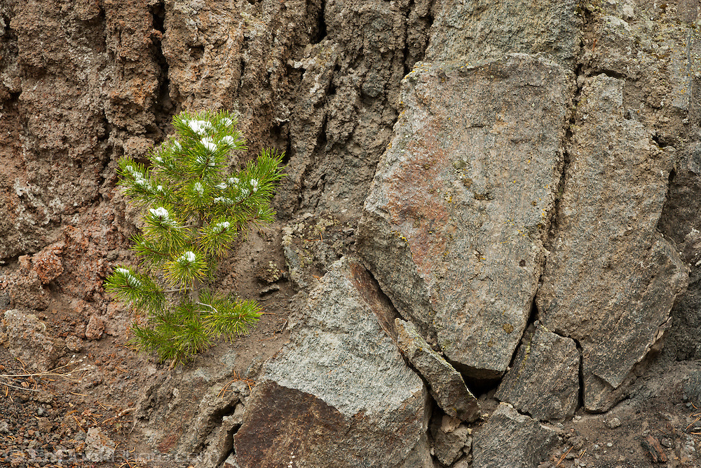 lodgepole pine growing on a rock wall with an early autumn snow in the forest in Yellowstone National Park, Wyoming, USA