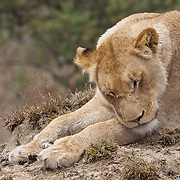 Young African lion sleeping. Private Game Reserve. South Africa.