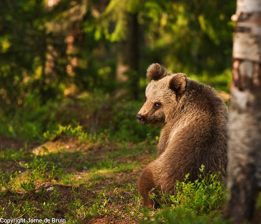 An Eurasian Brown Bear Cub sits in the brush in a forest in Finland.