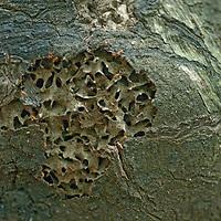 Termites in Peru's Amazon Jungle crawl around tunnels in their  broken-open nest.
