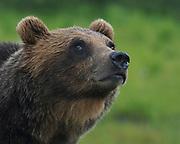 Alaskan Brown Bear near Portage, Alaska