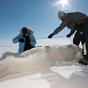 Dr. Steve Amstrup, USGS biologist, and assistant Karyn Rode preparing to collect data from a small female polar bear (Ursus maritimus). Beaufort Sea ice pack, Kaktovik, Alaska