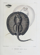 porcupine river stingray (Potamotrygon histrix [Here as Trygon histrix]  It is found in the basins of the Paraná and Paraguay River basins in South America hand coloured sketch From the book 'Voyage dans l'Amérique Méridionale' [Journey to South America: (Brazil, the eastern republic of Uruguay, the Argentine Republic, Patagonia, the republic of Chile, the republic of Bolivia, the republic of Peru), executed during the years 1826 - 1833] Volume 5 Part 1 By: Orbigny, Alcide Dessalines d', d'Orbigny, 1802-1857; Montagne, Jean François Camille, 1784-1866; Martius, Karl Friedrich Philipp von, 1794-1868 Published Paris :Chez Pitois-Levrault. Publishes in Paris in 1847