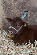 A brown calf laying in hey at the annual Suffolk Show on the 29th May 2019 in Ipswich in the United Kingdom. The Suffolk Show is an annual show that takes place in Trinity Park, Ipswich in the English county of Suffolk. It is organised by the Suffolk Agricultural Association.