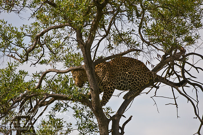 Leopard (Panthera pardus)  Decending from tree. Serengeti Plains. Masai Mara Game Reserve. Kenya. Africa.
