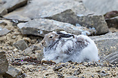 Hare - Arctic