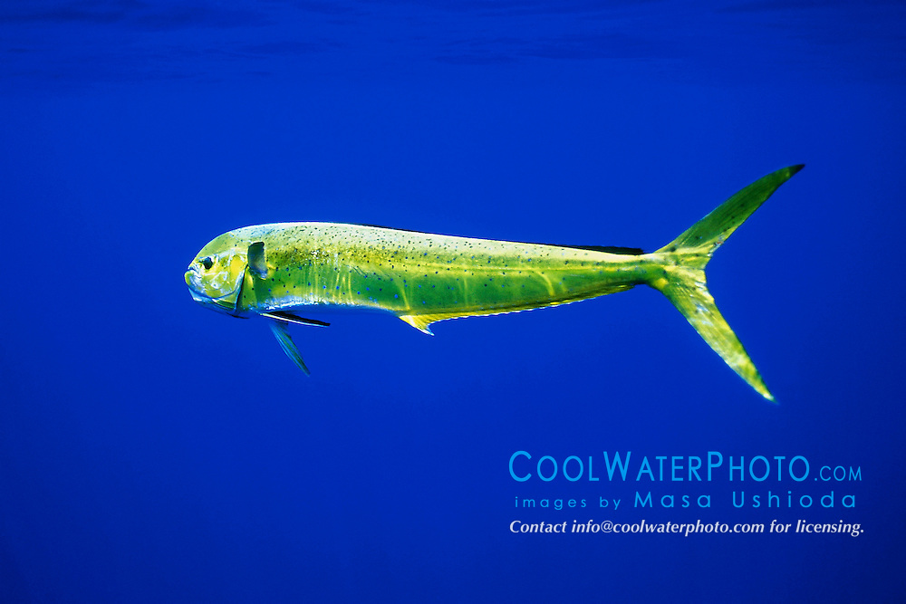 mahi mahi, dolphin fish, or dorado, Coryphaena hippurus, cow, off Kona Coast, Big Island, Hawaii, Pacific Ocean.