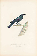 Birds of Cube 1838 QUISCALUS atroviolaceus, (TOTI) Possibly Great-tailed grackle (Quiscalus mexicanus) From the book Histoire physique, politique et naturelle de l'ile de Cuba [Physical, political and natural history of the island of Cuba] by  Sagra, Ramón de la, 1798-1871; Orbigny, Alcide Dessalines d', 1802-1857 Publication date 1838 Publisher Paris : A. Bertrand