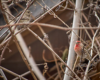 Pair of House Finches. Image taken with a Nikon D2xs camera and 80-400 mm VR lens (ISO 100, 400 mm, f/5.6, 1/125 sec).
