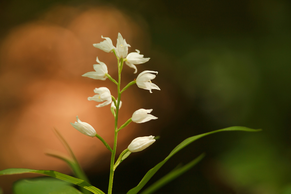 Narrow leaved Helleborine_Cephalanthera longifolia (Orchidaceae), Gorges du Tarn, Roc des Houstous, La Malène, Lozère