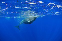 Pottwal, Physeter catodon, Physeter macrocephalus, sperm whale under water, Azoren, Portugal, Atlantik, Atlantischer Ozean, Azores, Portugal, Atlantic Ocean