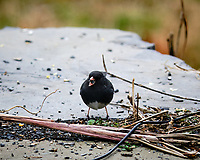 Dark-eyed Junco. Image taken with a Fuji X-T3 camera and 200 mm f/2 lens with 1.4x TC