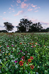 Wildflower field, Big Spring historical and natural area, Great Trinity Forest, Dallas, Texas, USA