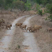 African lion mother with very young cubs crossing road. Londolozi Private Game Reserve. South Africa.