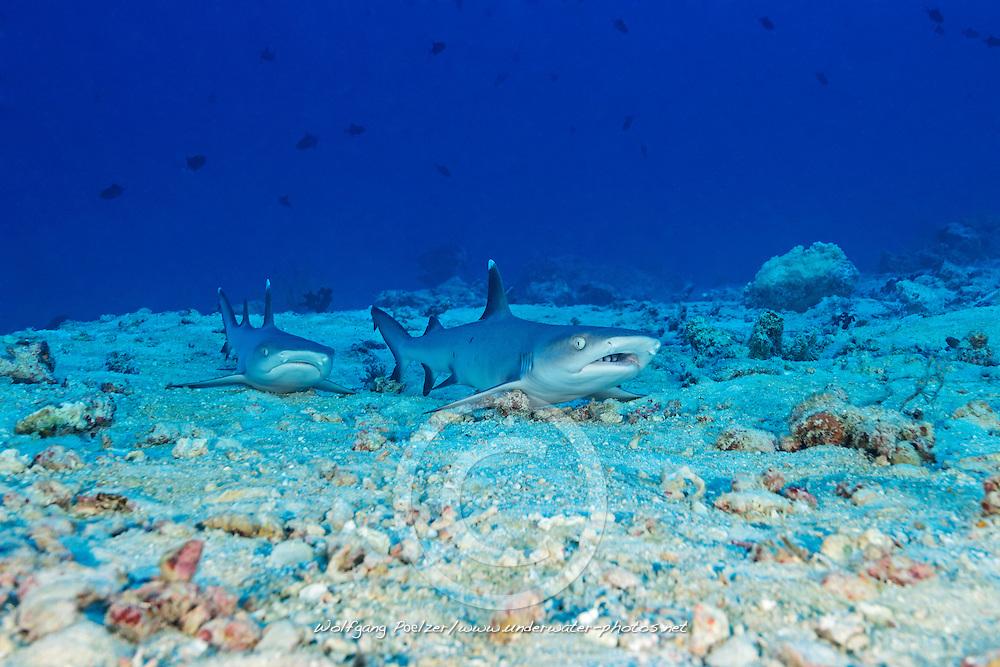 Triaenodon obesus, Weissspitzen Riffhai, Whitetip reef shark, Malediven, Indischer Ozean, Ari Atoll, Hafsha Thila, Maldives, Indian Ocean