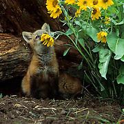 Red Fox, (Vulpus fulva) Kit at den entrance with Arrowleaf Balsamroot flowers. Montana. Captive Animal.