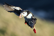 Puffin in flight | Lundefugl i flukt