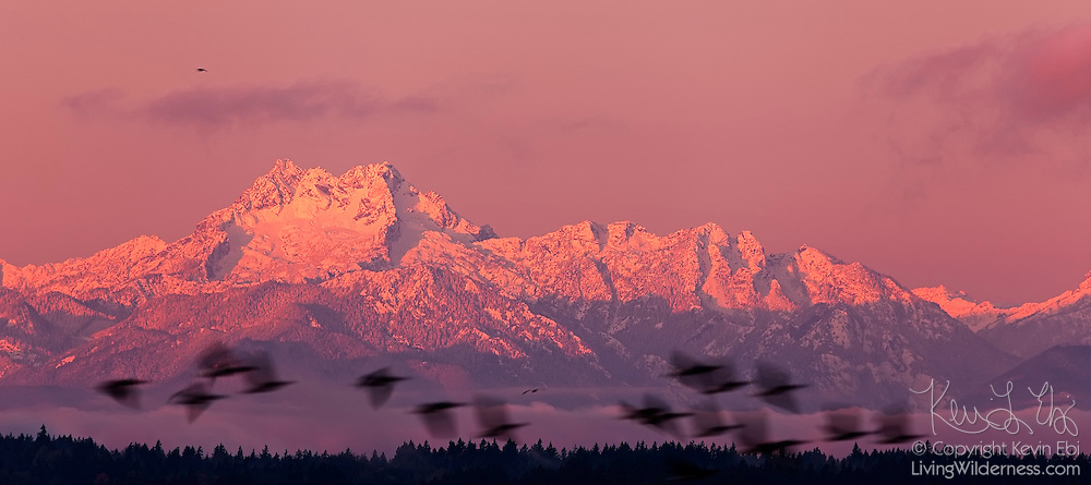 A flock of ducks fly fast past The Brothers, promiment peaks in the Olympic Mountains of Washington state. The south peak (on the left) has a height of 6,842 feet (2,085 meters), making it slightly taller than the north peak. This view of the Brothers at sunrise was captured from Golden Gardens park in Seattle.