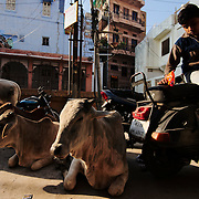 Cows sitting in the street early on the morning