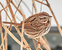 Song Sparrow (Melospiza melodia). Image taken with a Nikon D850 camera and 500 mm f/4 VR lens.