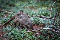 Single Mongoose in Chobe National Park, Botswana.