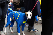 A dog wears a EU flag and sticker with the text Bollocks too Brexit