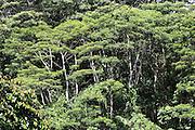 Forest: Eucalyptus trees near the coast on the presque-ile, Tahiti, French Polynesia<br /> <br /> Un nouveau regard sur la Polynesie Francaise. Dynamisation, collaborations, innovation, developpment resources, economie, entreprises et organismes polyesiennes, endemisme terrestre et marin, biodiversite, biomolecules, biotechnologies, endemisme terrestre et marin, energies renouvelables, preservation durables, climat tropical, alternatives a l'utilisation de produits chimiques, transformation agroalimentaires, usages traditionnels des plantes, utilisation des plantes endemiques en cosmetique et en medecine, aquaculture performante et durable, valorisation des dechets, outre mer et la zone pacifique, technologies innovantes, synergies, culture, traditions, technologique et scientifique, collaborations, stimulation, production et realization, protection, transformation, diversite, pharmocopee, experimentation, autonomie, espace naturels et eco-tourisme,