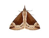 Beautiful Snout - Hypena crassalis<br /> 72.007 (2476)