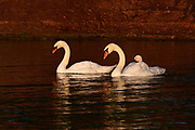 Mute Swan family (Cygnus olor) swim in the morning light.  Ontaio, Canada