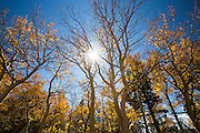 Sun shines through autumn aspens in Colorado, near Boulder
