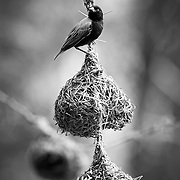 """""""Lake Eyasi Birdhouse""""<br />  The male Weaver bird constructs these small engineering feats in the hopes of finding a female that approves of their future home."""