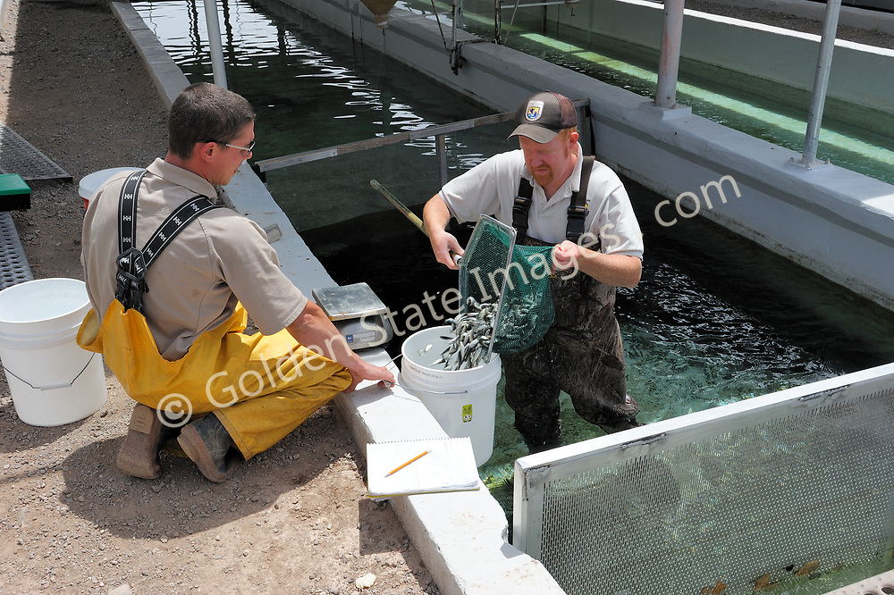 Young rainbow trout being weighed then transferred between tanks