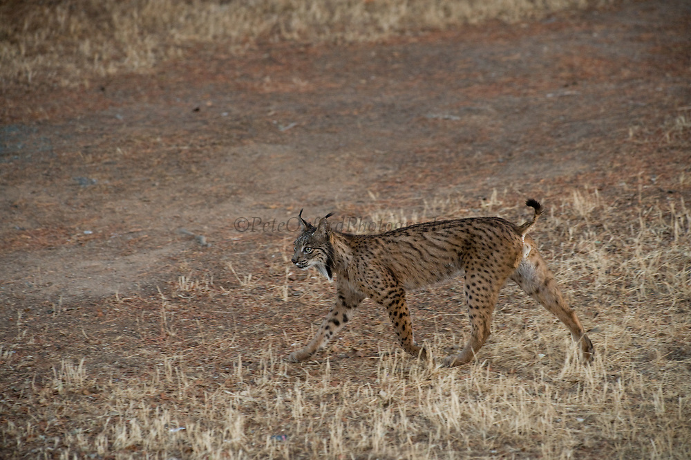 Iberian Lynx (Lynx pardinus) Male at Jandula River.<br /> Sierra de Andújar Natural Park, Mediterranean woodland of Sierra Morena, north east Jaén Province, Andalusia. SPAIN<br /> RANGE: Iberian Penninsula of Spain & Portugal.<br /> CITES 1, CRITICAL - DANGER OF EXTINCTION<br /> Fewer than 200 animals in the wild. There is a reduced genetic variability due to their small population. They have suffered due to hunting, habitat loss, road accidents, reduced food supply due to desease in rabbits (Myxomatosis & RHD) - their base food supply. Deseases such as feline leukaemia<br /> A medium sized cat weighing 12-15kgs, Body length 90cm, Shoulder height 45-50cm. They have a mottled fur pattern, (3 varieties of fur pattern found between the different populations and distinguishing them geographically)  short tail, ear tufts and are bearded. They are territorial cats although female cubs have been found to share their mother's territory. Mating occurs in Dec/Jan and cubs born around April. They live up to 13 years.<br /> <br /> Mission: Iberian Lynx, May 2009<br /> © Pete Oxford / Wild Wonders of Europe<br /> Zaldumbide #506 y Toledo<br /> La Floresta, Quito. ECUADOR<br /> South America<br /> Tel: 593-2-2226958<br /> e-mail: pete@peteoxford.com<br /> www.peteoxford.com