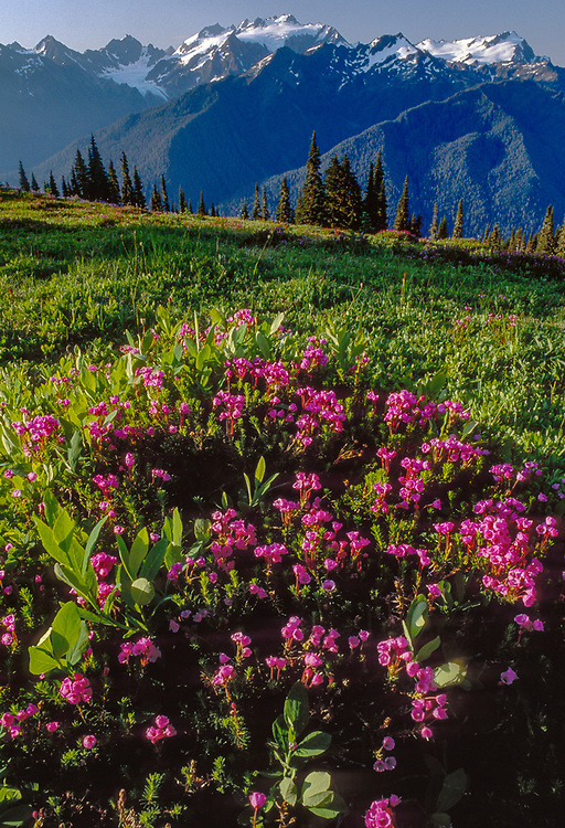 Pink heather on the High Divide, Mount Olympus in the distance, morning light, August, Olympic National Park, Washington, USA