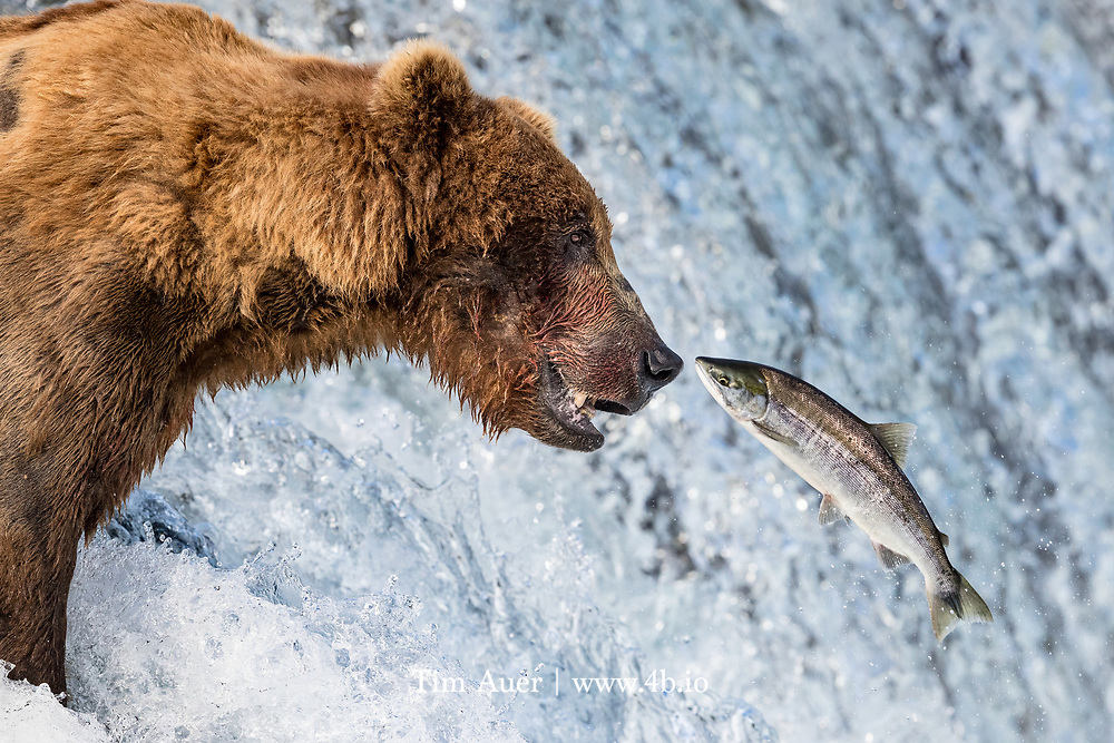 The California Grizzly fished for river salmon...For instance, bears were said to come down at night to [Mountain View] streams, such as Steven's Creek, when the salmon and steelhead ran.
