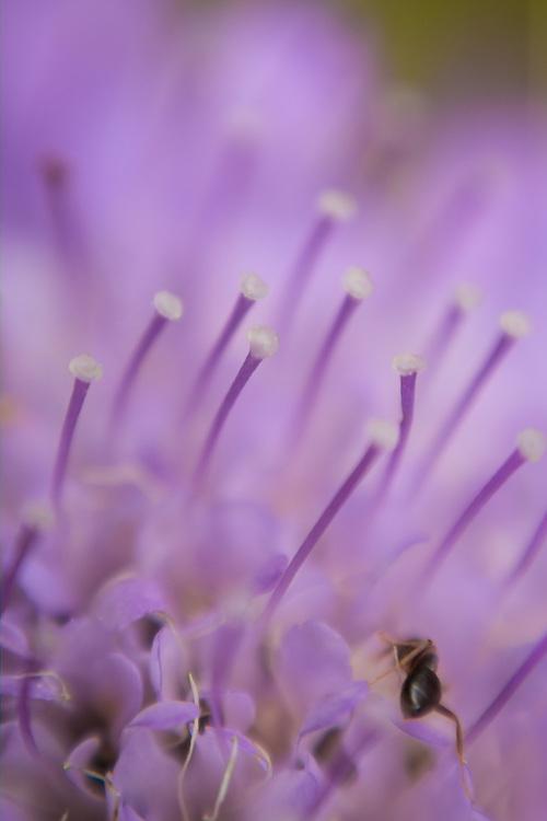 Macro floral image of a lavender scabiosa.