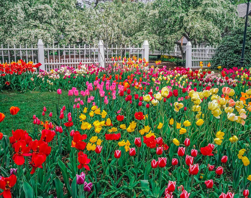 Tulips in Prescott Park gardens, Portsmouth, NH