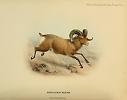 The snow sheep (Ovis nivicola), or Siberian bighorn sheep, [Here as Kamschatkan Bighorn Ovis canadensis nivicola] is a species of sheep from the mountainous areas in the northeast of Siberia. colour illustration From the book ' Wild oxen, sheep & goats of all lands, living and extinct ' by Richard Lydekker (1849-1915) Published in 1898 by Rowland Ward, London