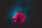 Still of a poppy blossom against a dark blue textured background<br /> Redbubble home decor and more--><br /> https://www.redbubble.com/shop/ap/49880365?asc=u