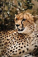 A resting Cheetah in the Masai Mara National Park, Kenya