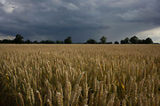 Unharvested corn in a field with darkening skies and an approaching storm at Shipdam, Norfolk. Ears of corn rise towards warm summer air before the impending rain delays the gathering of the annual crop by local farmers in this area of Britain is known as East Anglia, once the stronghold of Saxon tribes then later, of Norse Vikings.