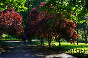 Red leafs in on a tree in a park in Bucharest, Romania