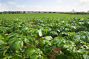 Israel, Sharon District, Potato field