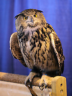 """Suffern, New York - A European eagle owl (Bubo bubo) at the """"Talons - A Birds of Prey Experience"""" exhibit at the Northeast Astronomy Forum and Telescope Show at Rockland Community College on April 17, 2011. The eagle owl is one of the largest types of owls."""